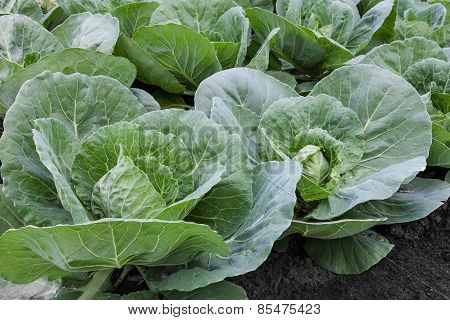 Seedlings Of Cabbage On Bed