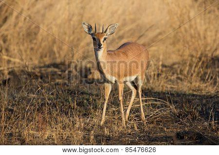 Single Alert Steenbok Carefully Graze Burnt Grass
