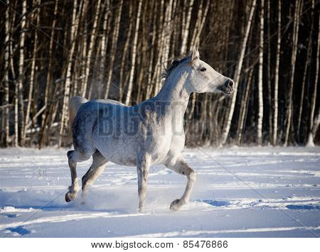 Grey Arab Horse Runs In Winter Field