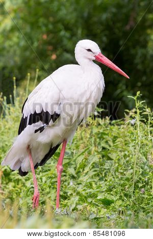 Standing stork in green nature