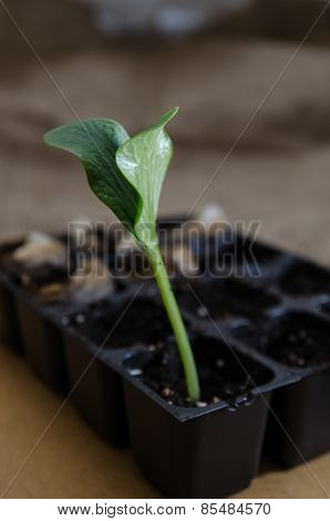 Pumpkin seedling in tray