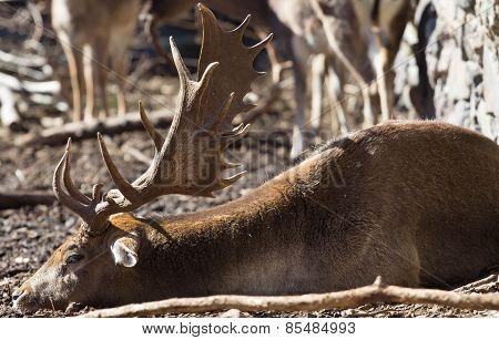 The Dead Deer