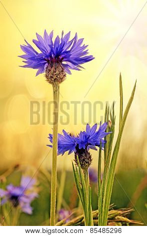 Blue Cornflowers In A Field