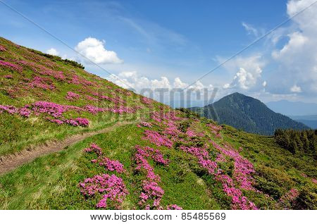 Summer Landscape With Blooming Mountain Slopes.