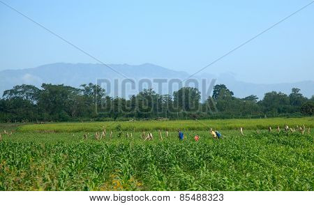 Honduran Workers In Field