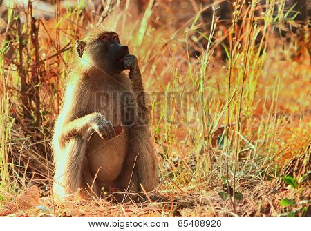 Isolated baboon sitting in the sunlight feeding