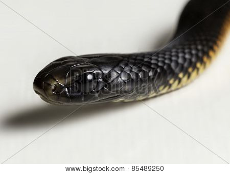 Black Bellied Juvenile