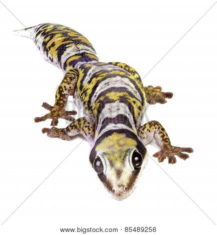 Castelnau's Velvet Gecko