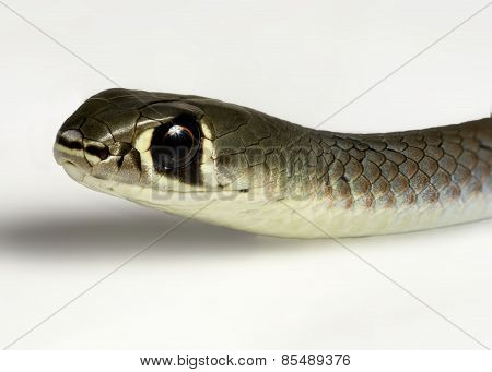 Yellow Faced Whip Snake
