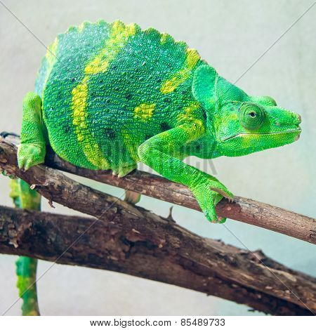 Beautiful And Exotic Green Chameleon