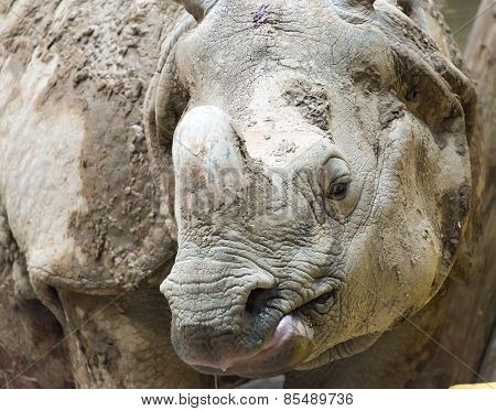 Indian Or Java Rhinoceros Close Up