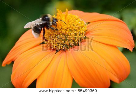 Big bumble bee on flower