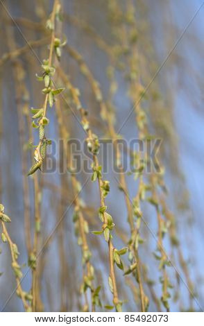 Blooming Weeping Willow