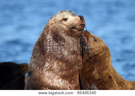 California Sealion Mother & Pup showing Love & Bonds