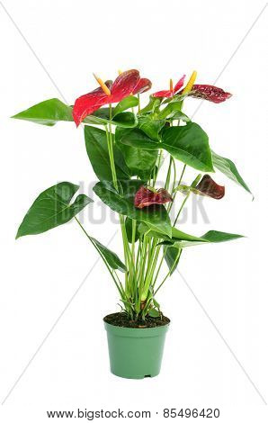 a flamingo lily plant in a plant pot on a white background