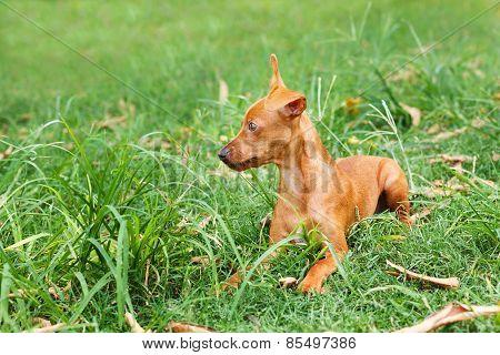 Puppy Of Miniature Pinscher  Playing On Green Grass In Yard