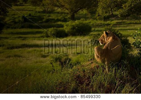 Lioness seen from behind