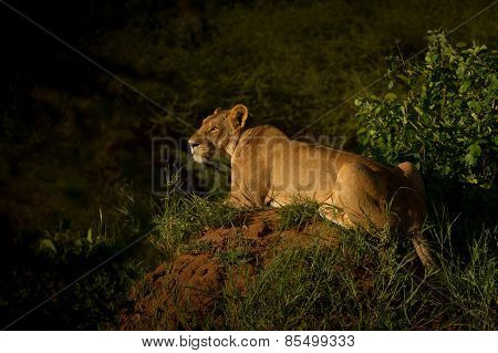 Lioness in the dusk