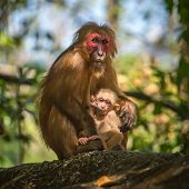 foto of macaque  - Wild red - JPG