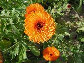 stock photo of marigold  - Beautiful marigold flowers open towards the sun - JPG