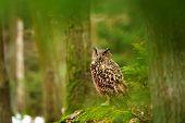 stock photo of snow owl  - Eurasian eagle - JPG
