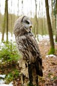 stock photo of northern hemisphere  - Great grey owl from side in the winter forest - JPG