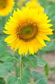 pic of hayfield  - Bright yellow sunflower in the sunflower field - JPG