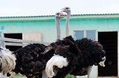 stock photo of poultry  - Big domestic ostrich in the poultry yard - JPG
