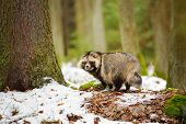 stock photo of raccoon  - Raccoon dog walking in the winter forest - JPG