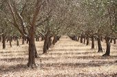 picture of row trees  - Receding rows of olive trees with sprinklers in dry summer conditions with brown grass between - JPG
