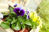 foto of viola  - Beautiful viola flowers in the garden - JPG