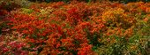 foto of azalea  - Panorama of blossoming rhododendron  - JPG