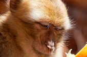 pic of macaque  - Closeup of a barbary macaque monkey eating orange - JPG