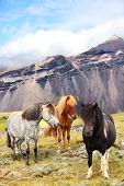 image of iceland farm  - Icelandic Horses on Iceland nature landscape - JPG