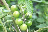 picture of cherry  - Baby Cherry Tomatoes,green baby cherry tomatoes growing in the garden in spring