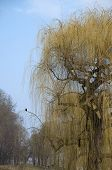 pic of raven  - a blooming weeping willow with a raven on a branch and some other bald trees in springtime in a park - JPG