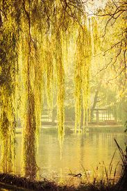 picture of weeping  - Summer or early autumn park with pond or river and weeping willow trees on the shore - JPG