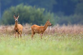 stock photo of bucks  - Buck deer with roe - JPG