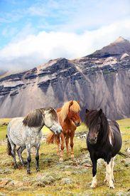 image of iceland farm  - Icelandic Horses on Iceland nature landscape - JPG