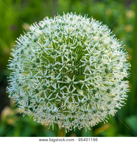 allium white flower growing in the garden.