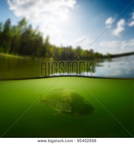 Split shot of the freshwater pond with forest above the surface and the fish (Carp of the family of Cyprinidae) underwater