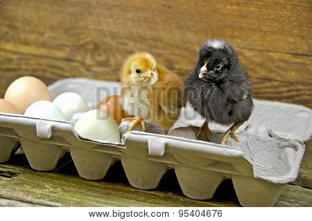 baby chick in egg carton