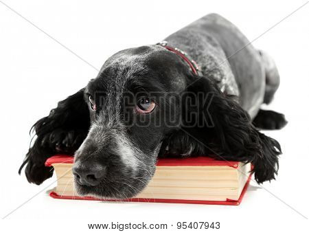 Russian spaniel with book isolated on white
