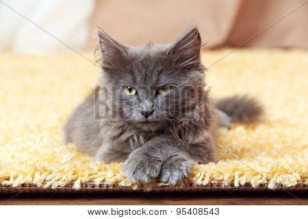 Cute gray kitten on carpet at home