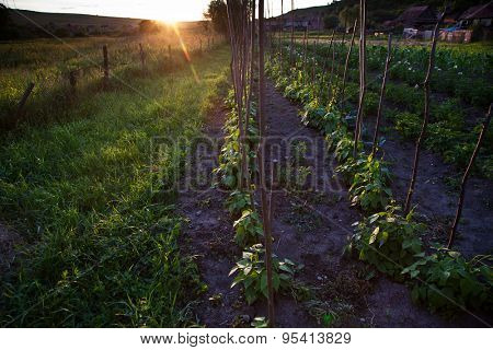 Vegetable garden at sunset