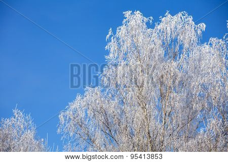 Birch tree branches covered with snow against clear blue sky at a winter day