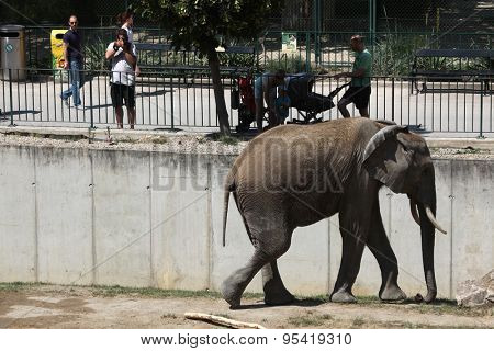 VIENNA, AUSTRIA - JUNE 7, 2015: Visitors look at the African bush elephant (Loxodonta africana) at Schonbrunn Zoo in Vienna, Austria.