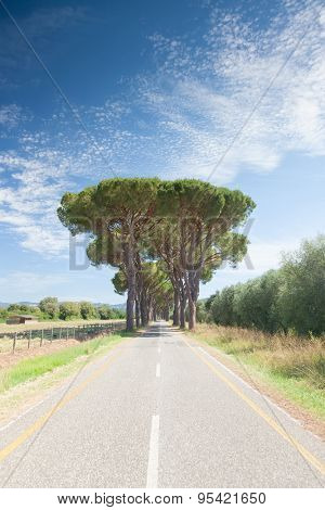 Road in tuscan countryside. Avenue of maritime pines (Pinus pinaster) along a empty and strenght road, sunny summer day. Tuscany, Italy, Europe.