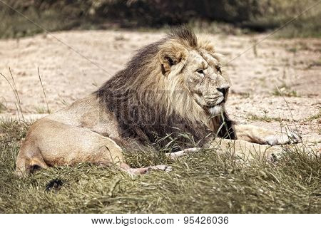 Male African lion lying down resting