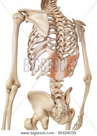 medical accurate illustration of the serratus posterior inferior